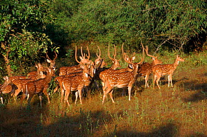 Chital / Spotted deer herd, Bandhavgarh NP, India - E.A. KUTTAPAN