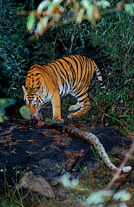 Tiger with python prey, Bandhavgarh NP India. Tiger ate only the egg sac and her cubs played with the carcass. - E.A. KUTTAPAN
