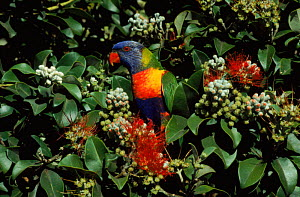Rainbow lorikeet in tree. Australia  -  Miles Barton