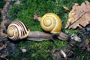 White lipped snails on moss (Cepaea hortensis) showing variation in pattern on shell within the species, UK. - PREMAPHOTOS