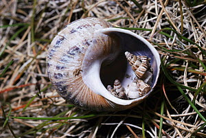 Pointed snails (Cochlicella acuta) roosting inside empty shell of Common snail (Helix aspersa) UK  -  PREMAPHOTOS
