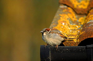 Common (House) sparrow male perched on roof edge, England, Europe  -  David Kjaer