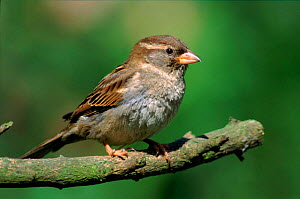 Common (House) sparrow female in spring, England, UK - Nigel Bean