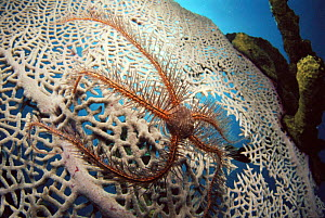 Brittlestar on fan coral,  Caribbean - Jurgen Freund