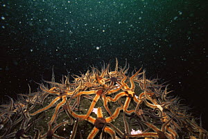 Common brittlestars (Ophiothrix fragilis) on sea bed, Scotland  -  Dan Burton