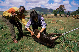 Vets vaccinate Domestic dogs against rabies. Ethiopia. - Charlie Hamilton James