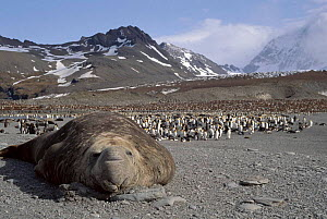 Southern elephant seal bull and King penguin rookery. Antarctica, St Andrews Bay - Peter Bassett