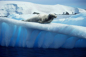 Crabeater seal on ice floe. (Loboden carcinophagus)Antarctic  -  Mats Forsberg