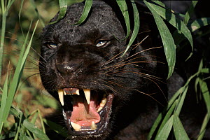 Melanistic (black form) leopard snarling, often called black panther (captive)  -  Lynn M Stone