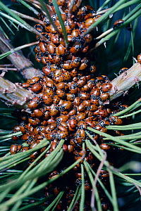 Ladybirds hibernating (Hippodamia convergens) in tree, USA Arizona.  -  PREMAPHOTOS
