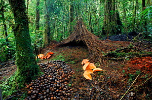 Bower of the Vogelkop gardener bowerbird (Amblyornis inornata) built by the male to attract a female, Irian Jaya / West Papua, Western New Guinea  -  RICHARD KIRBY
