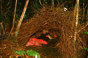 Vogelkop gardener bowerbird male tending bower to attract mate Irian Jaya / West Papua, Western New Guinea  -  RICHARD KIRBY