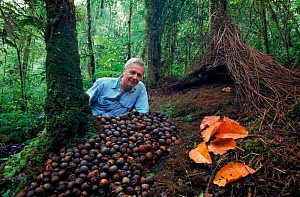 David Attenborough with Vogelkop Gardener Bowerbird bower built to attract a mate. 1995 Irian Jaya, Western New Guinea. On location filming 'Attenborough in Paradise' (West Papua).  -  RICHARD KIRBY