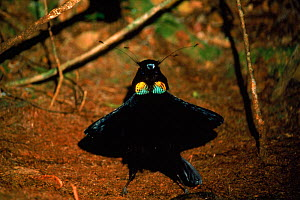 Arfak parotia bird of paradise male displaying to attract mate Irian Jaya, Western New Guinea (West Papua).  -  RICHARD KIRBY