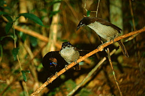 Arfak parotia bird of paradise male (left) courting two females, Irian Jaya, Western New Guinea (West Papua).  -  RICHARD KIRBY