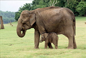 Indian elephant mother & baby Kabini NP India - Lockwood & Dattatri