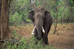 Indian elephant grazing in Nagarahole National Park, South India - Lockwood & Dattatri