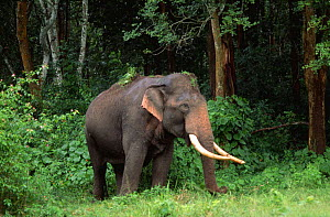 Indian elephant (Elephas maximus) grazing in woodland, Nagarahole NP, Karnataka, Southern India - Ana Lockwood