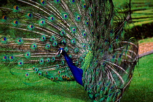 Common peafowl (Peacock) male displaying.  -  Andrew Harrington