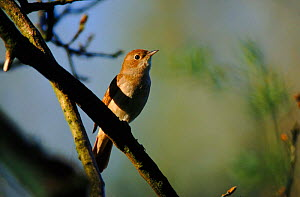 Nightingale (Luscinia megarhychos) singing. England, UK, Europe  -  Nigel Bean