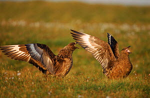 Great skua pair, aggressive display, Shetland Islands, Scotland. - John Cancalosi
