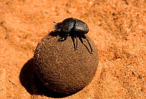 Scarab beetle on dung ball. Kenya, East Africa  -  Peter Blackwell