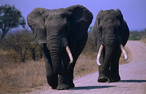 Two old African elephant bulls {Loxodonta africana} walking along road, Kruger NP, South Africa - Ron O'Connor