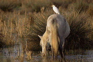 Wild horse (Equus caballus) grazing  with Cattle egret (Bubulcus ibis) perched on back. Camargue, France.  -  Jean E. Roche