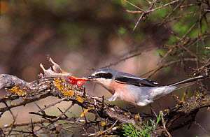 Great grey shrike with impaled mouse prey which it is dismembering  to feed to chicks. Spain  -  Jose B. Ruiz