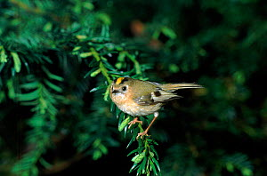 Goldcrest, England UK  -  Nigel Bean