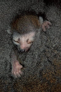 Crowned lemur baby asleep against mother, N. Madagascar, Ankarana Special Reserve  -  Pete Oxford