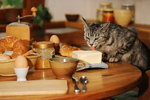 Domestic cat stealing butter, Germany  -  Ingo Bartussek