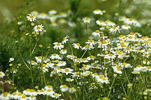 Corn chamomile in flower (Anthemis arvensis) UK - John Downer
