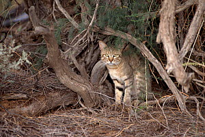African wild cat, South Africa, Kalahari Gemsbok National Park  -  Tony Heald
