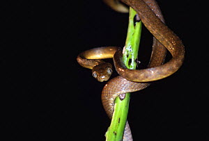 Brown tree snake {Boiga irregularis} introduced to Guam, caused Bird extinctions  -  Miles Barton