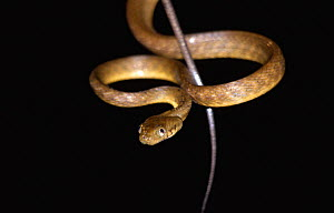 Brown tree snake {Boiga irregularis}, example of bioinvasion and responsible for bird extinctions on US Territory of Guam, Western Pacific Ocean  -  Miles Barton