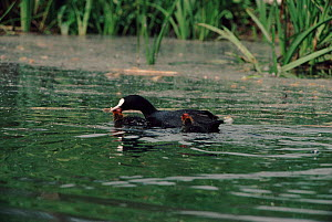 Coot parent killing its chick - infanticide to reduce clutch size - Barrie Britton