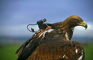 Golden eagle with special video camera to film while in flight - John Downer