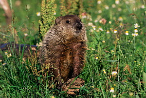 Woodchuck in flower meadow (Marmota monax) Minnesota, USA  -  Lynn M Stone