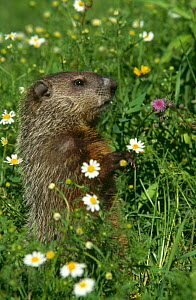 Woodchuck (Marmota monax) in flower meadow,  Minnesota, USA  -  Lynn M Stone