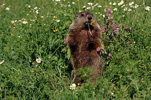 Woodchuck feeding, flower meadow, Minnesota, USA  -  Lynn M Stone