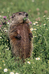 Woodchuck feeding in flower meadow, Minnesota, USA  -  Lynn M Stone