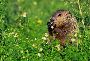 Woodchuck feeding in  flower meadow (Marmota monax) Minnesota, USA  -  Lynn M Stone