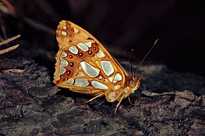 Queen of Spain fritillary (Issoria lathonia). Germany, Europe  -  Hans Christoph Kappel