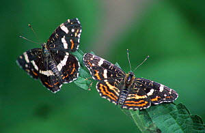Map butterfly 2nd brood August/ July (Araschnia levana) Germany - Hans Christoph Kappel