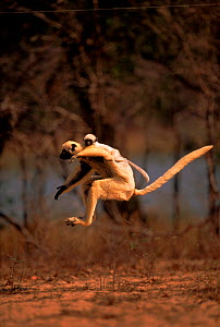 Decken's Sifaka (Propithecus deckenii) mother with young leaping across open ground, Western Madagascar.  -  Pete Oxford