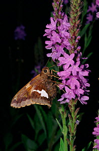 Silver spotted skipper on Hoary vervain (Verbena stricta) USA - Larry Michael