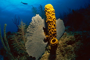 RF- Yellow tube sponge (Aplysina fistularis) and Fan corals, Caribbean. (This image may be licensed either as rights managed or royalty free.) - Jurgen Freund