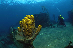 Yellow tube sponge {Aplysina fistularis} growing on shipwreck, with diver in background, Caribbean  -  Juergen Freund