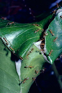 Green tree {Oecophylla smaragdina} drawing leaf edges together to 'sew' them into a nest, Australia  -  PREMAPHOTOS
